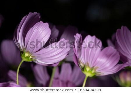 Close up orange cosmos flower Stock photo © stoonn