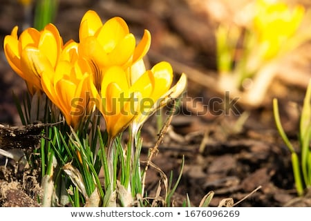 Azafrán amarillo flores colores jardín verde Foto stock © LianeM