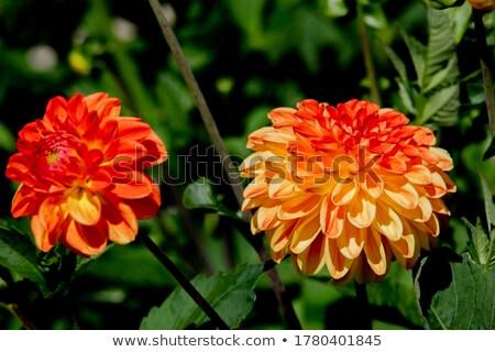Dahlia oranje tuin zomer bloem blad Stockfoto © LianeM