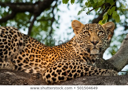 Leopard in a tree in the Sabi Sands, South Africa. Stock photo © simoneeman