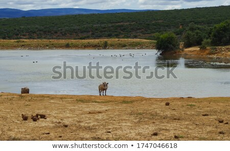 mating warthogs in wild stock photo © thp