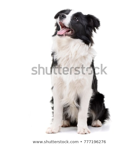 Border collie blanco feliz belleza negro funny Foto stock © vauvau