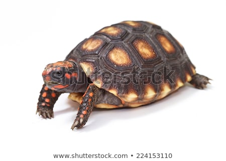 Red footed tortoise Stock photo © Klinker