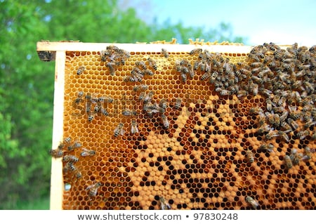 Foto stock: White Hives And Lots Of Bees