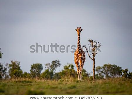 zsiráf · néz · kamera · park · égbolt · Afrika - stock fotó © simoneeman