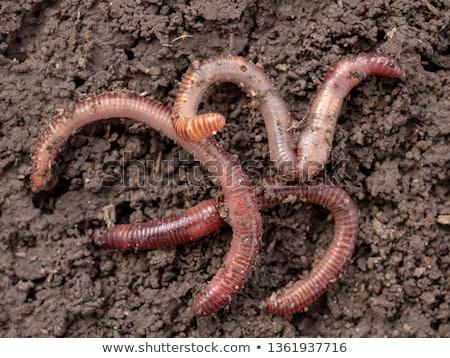 Regenworm geïsoleerd bodem witte achtergrond Stockfoto © asturianu