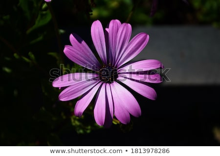 purple and pink daisy flower in fool bloom stock photo © alessandrozocc