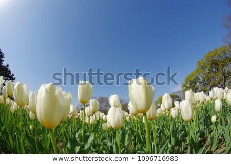 Fish eye tulip field Stock photo © Zela