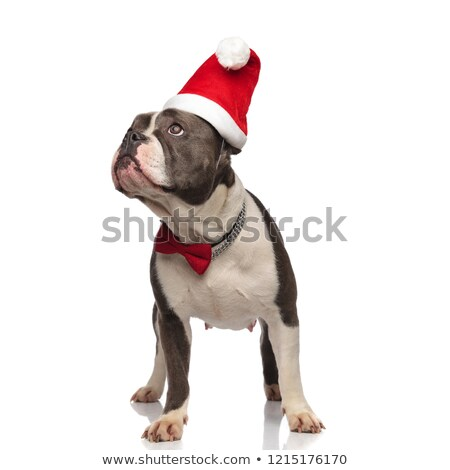 classy american bully wearing santa hat looks up to side Stock photo © feedough