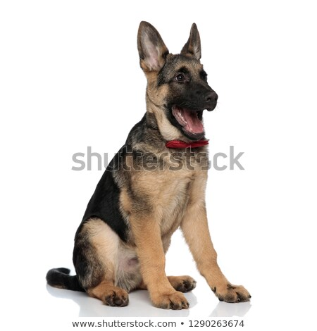 happy german shepard wearing red bowtie looks to side Stock photo © feedough