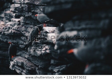 инка · сидят · побережье · утес · морем · птица - Сток-фото © matimix