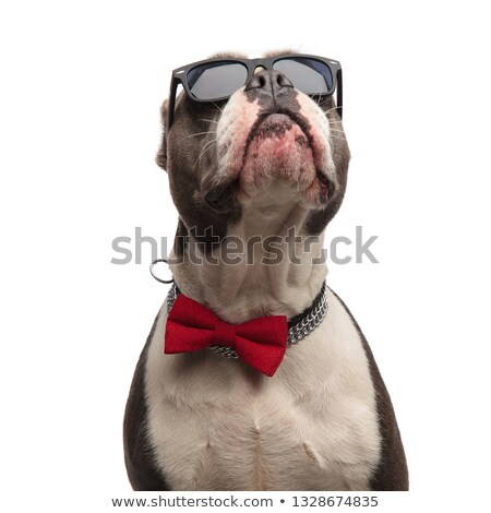 close up of curious american bully wearing sunglasses and bowtie Stock photo © feedough