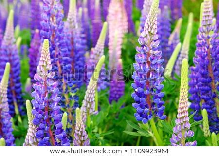 sauvage · fleurs · lumière · fleur - photo stock © neirfy
