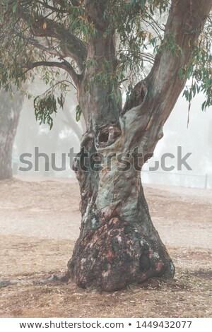 Neige gomme brouillard montagnes Australie arbre Photo stock © lovleah