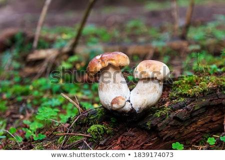 nice porcini mushroom grows in wood Stock photo © romvo