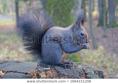 Black squirrel sits on a tree and eats Stock photo © galitskaya