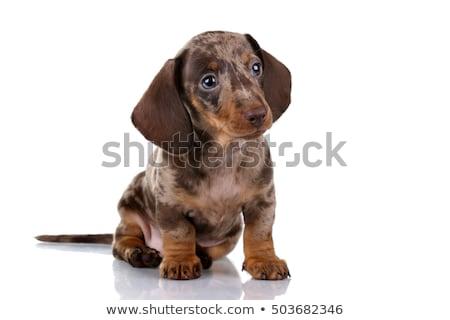 Sevimli daksund köpek yavrusu oturma gri Stok fotoğraf © vauvau