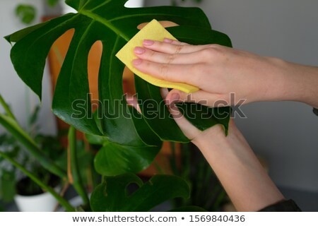 happy woman cleaning houseplant at home Stock photo © dolgachov
