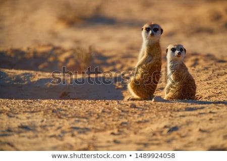 two suricatas stock photo © jamdesign