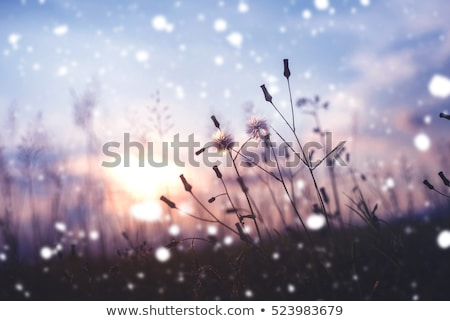 タンポポ 準備 花 春 日没 ストックフォト © Ansonstock
