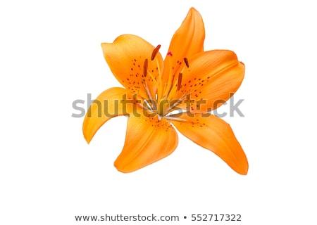 Oranje natuur zomer kleur plant Stockfoto © trgowanlock