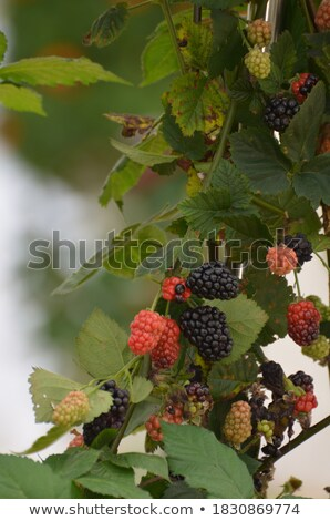 framboos · frambozen · groeiend · organisch · bessen - stockfoto © backyardproductions