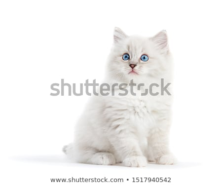 ragdoll stock photo © nailiaschwarz