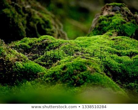 Macro musgo imagem verde escuro fundo Foto stock © pancaketom