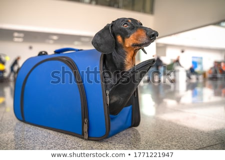 Dog in a Carrier Bag Stock photo © lenm