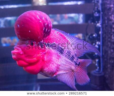тропические рыбы воды путешествия красный цвета плаванию Сток-фото © Hermione