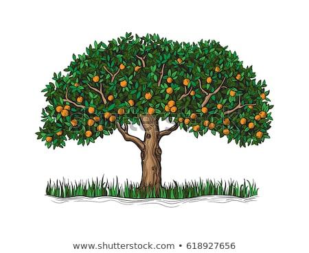 Mature oranges on tree Stock photo © inaquim