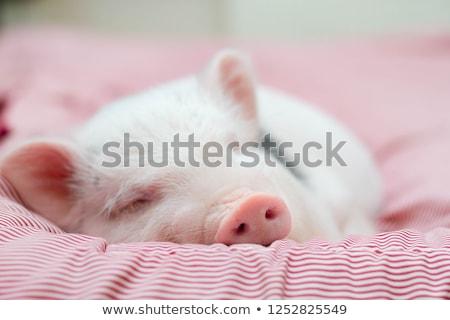 спальный · свинья · пер · животного · грязи · ветчиной - Сток-фото © chrisbradshaw