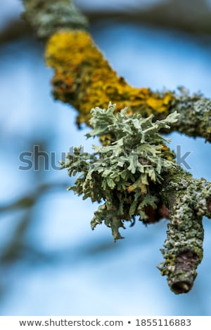 twigs overgrown with lichen Stock photo © prill