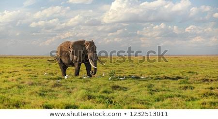 Fil kadın Güney Afrika Afrika Stok fotoğraf © timwege