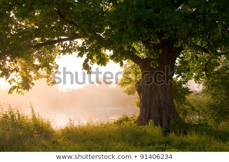 Oak tree in the field at sunrise Stock photo © nature78