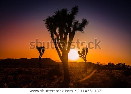 Yucca  Brevifolia Sun Flare Mojave Desert Joshua Tree National P Stock photo © billperry