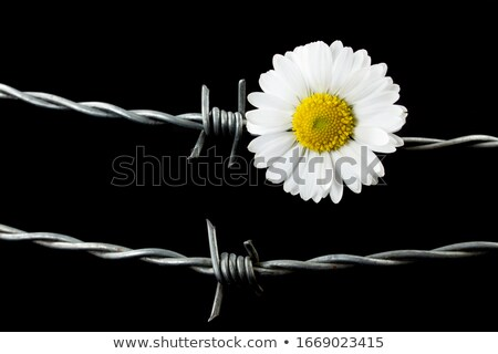 Barbed Wire Fence and Flowers stock photo © rhamm