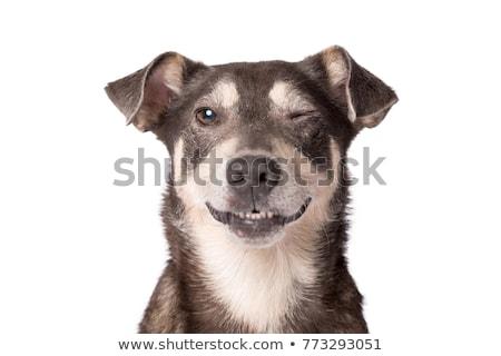 Kutya szemek közelkép fiatal vegyes egyéves Stock fotó © ArenaCreative