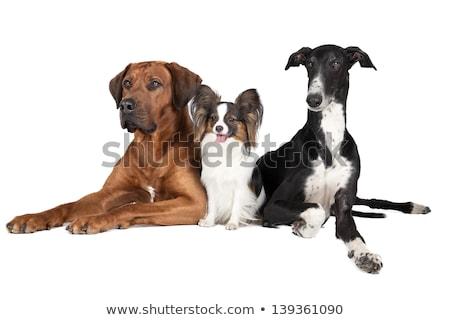 борзая · собака · 18 · месяцев · старые · сидят - Сток-фото © silense