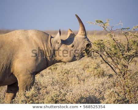 黒 · サイ · 珍しい · 絶滅危惧種 · アフリカ - ストックフォト © livingwild