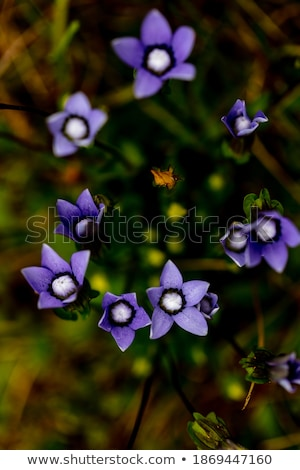 flowers of pulmonaria obscura stock photo © tainasohlman