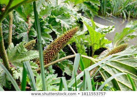 Gigant rabarbar ogród tle zielone pozostawia Zdjęcia stock © LianeM