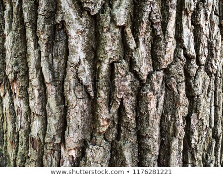 detail of oak bark in autumn stock photo © meinzahn