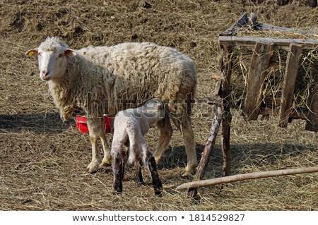 jovem · cordeiro · mãe · verde · campo - foto stock © sarahdoow