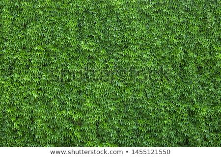 Borostyán ház fal kék levelek növény Stock fotó © Sarkao