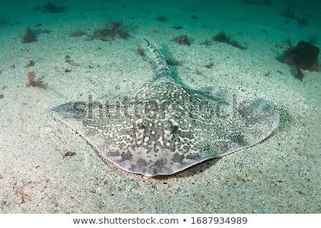 skate · geïsoleerd · zwarte · vis · zee · zeevruchten - stockfoto © kirpad