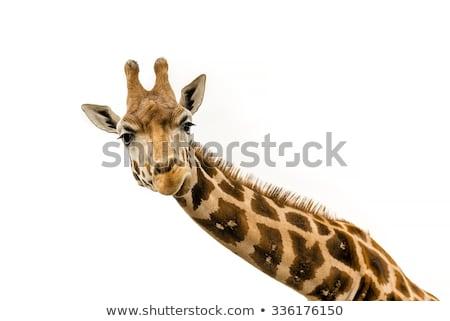 girafa · grama · Quênia · África · olhos · boca - foto stock © master1305