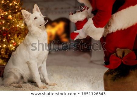 белый · пастух · красивой · собака · позируют · студию - Сток-фото © elenarts