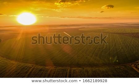 ripe soybean pods close up stock photo © stevanovicigor
