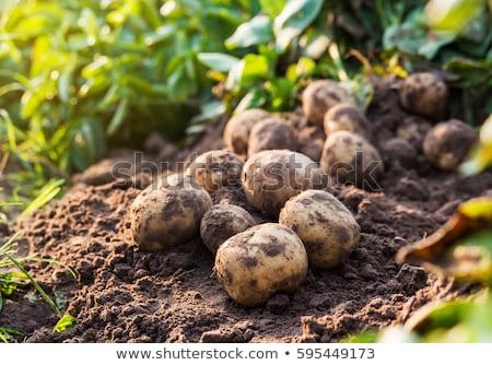Organik patates temel gıda alan çiftlik Stok fotoğraf © Photofreak
